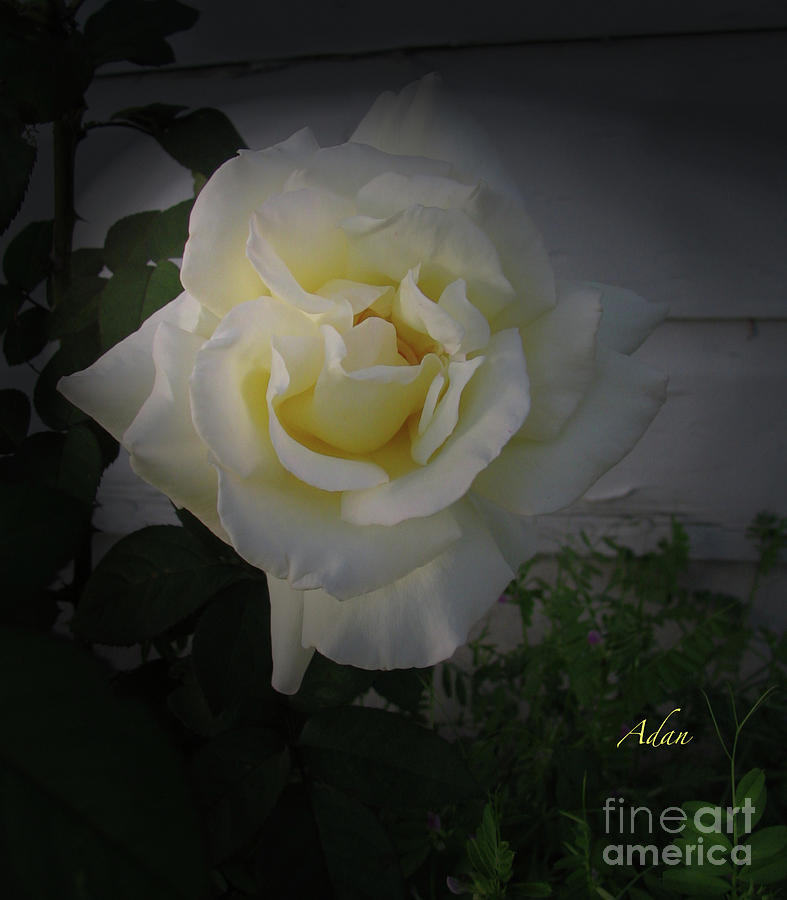 Gold Light In White Rose Macro Photograph