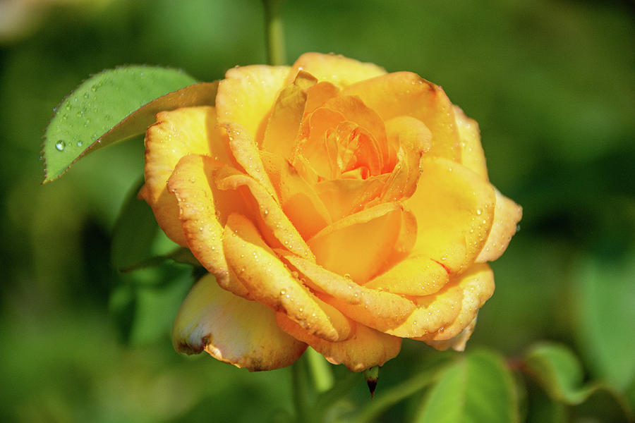 Gold Medal Rose-1 Photograph