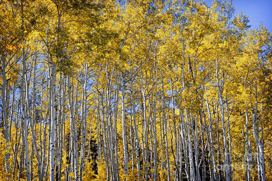 Golden Aspen Grove by Lincoln Rogers