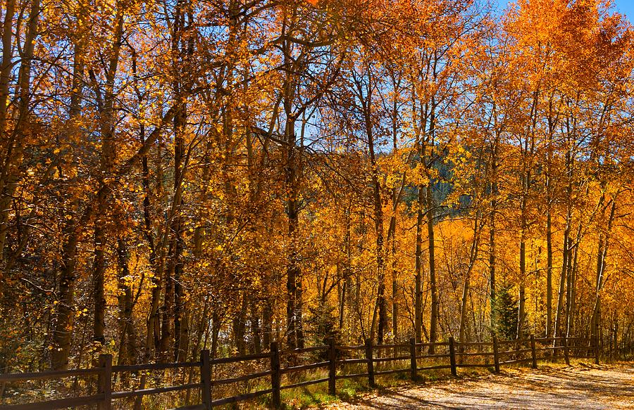 Golden Aspens Photograph