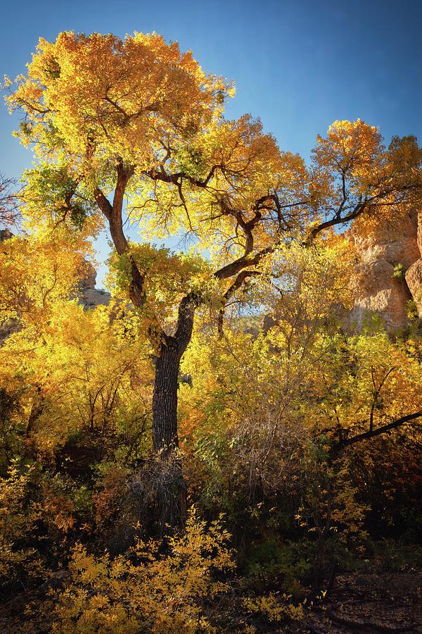 Golden Autumn Cottonwoods  by Saija Lehtonen