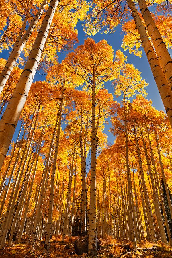Golden Autumn Morning Aspens by Saija Lehtonen