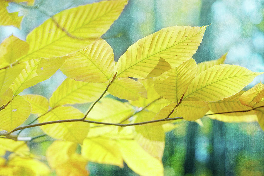Golden Beech Leaves by Kathi Mirto