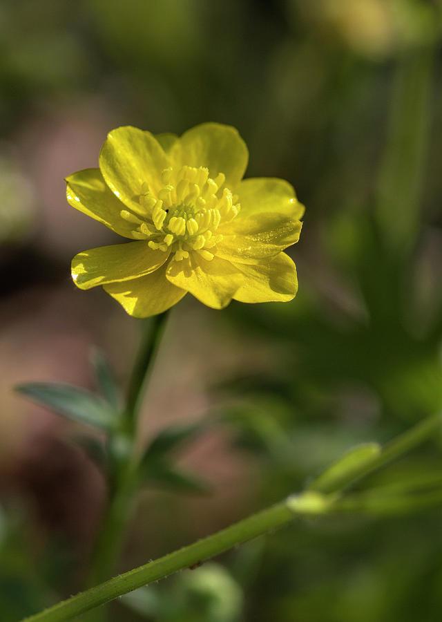 Buttercup Photograph - Golden Buttercup Wildflower by Kathy Clark