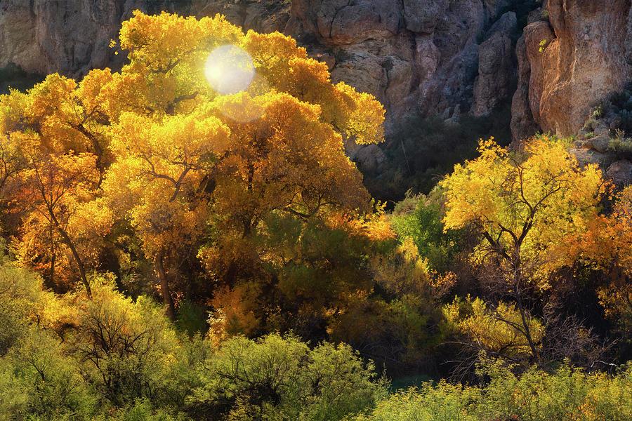 Golden Cottonwoods  by Saija Lehtonen