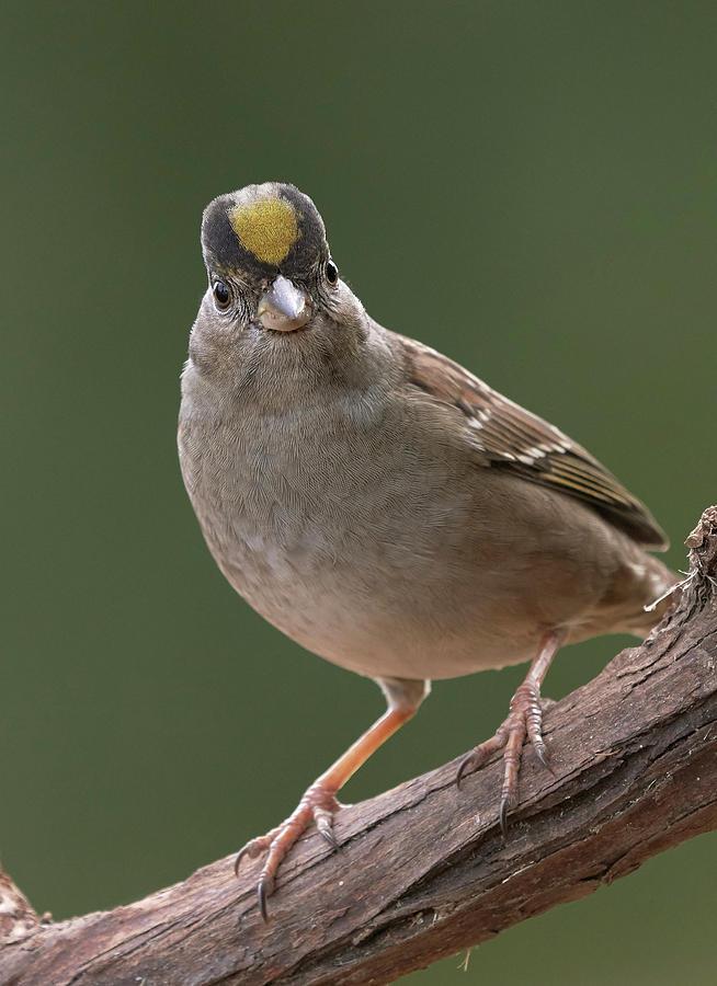Birds Photograph - Golden-crowned Sparrow, Sacramento County California by Doug Herr