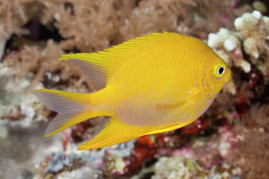 Golden Damsel Fish On A Tropical Coral Photograph by Jeff Hunter