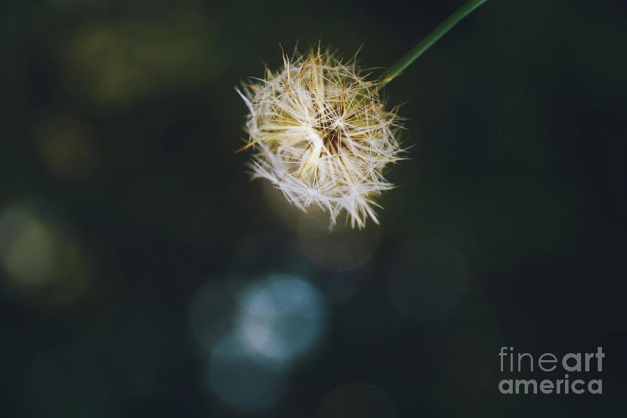 Golden Dandelion - macro bokeh by Adrian DeLeon