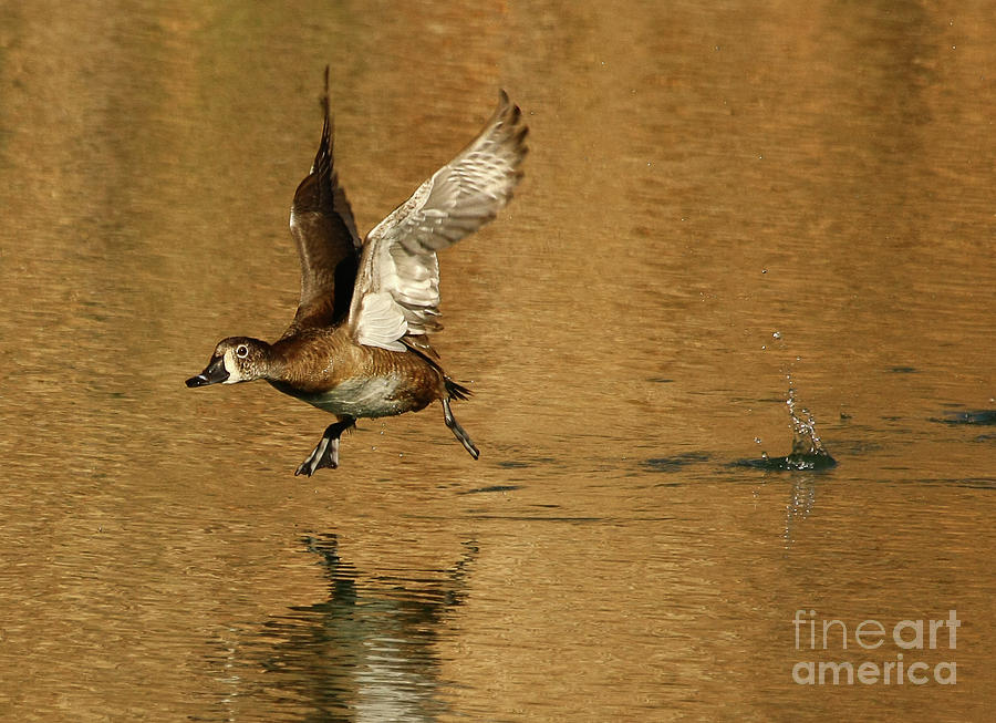 Animals Photograph - Golden Duck Golden Day by Michael Vance Pemberton