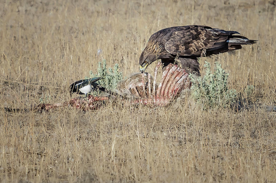 Golden Eagle And Magpie Picking Bones, No. 1 Photograph