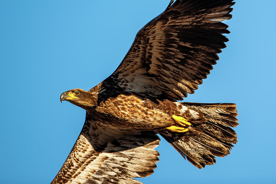 Golden Eagle II by Jeff Phillippi