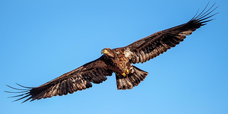 Golden Eagle by Jeff Phillippi