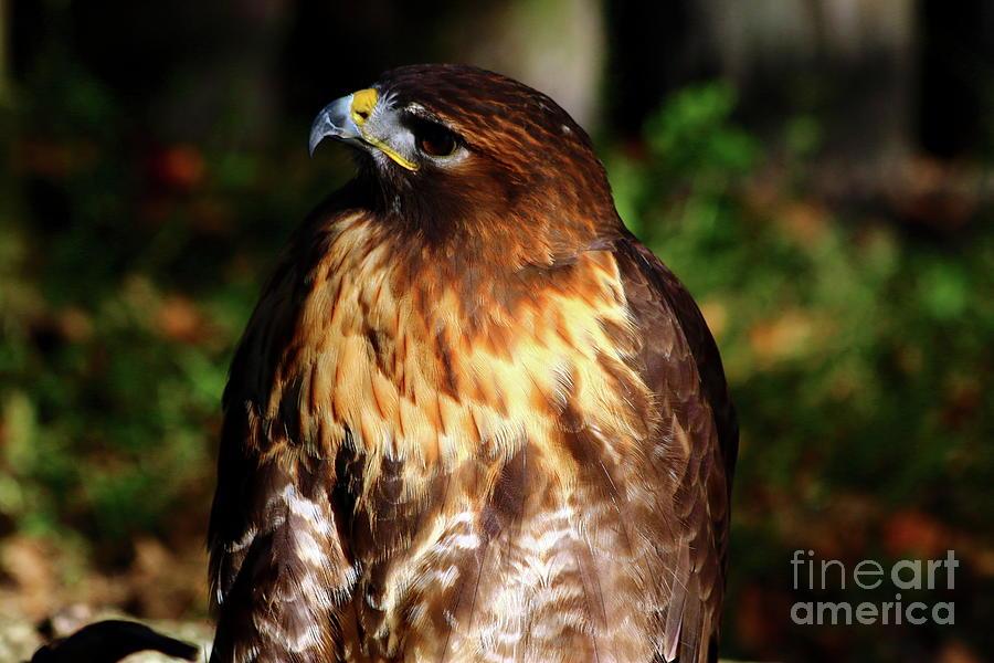 Golden Eagle Photograph - Golden Eagle Portrait by Christiane Schulze Art And Photography