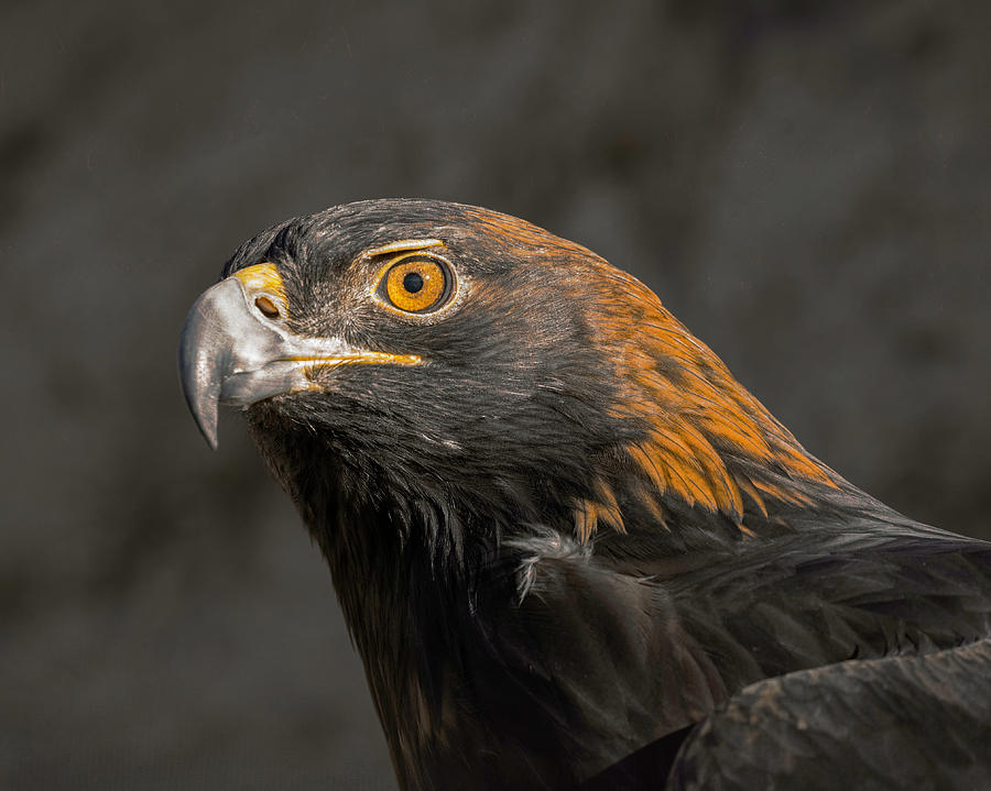 Golden Eagle Portrait by Lowell Monke