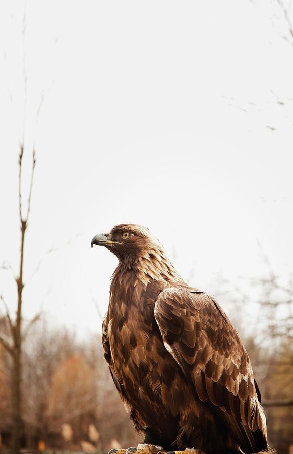 Golden Eagle Photograph by Ron Levine