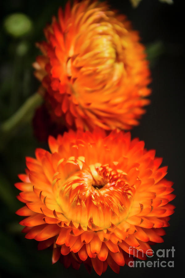 Orange Photograph - Golden Everlasting by Jorgo Photography - Wall Art Gallery