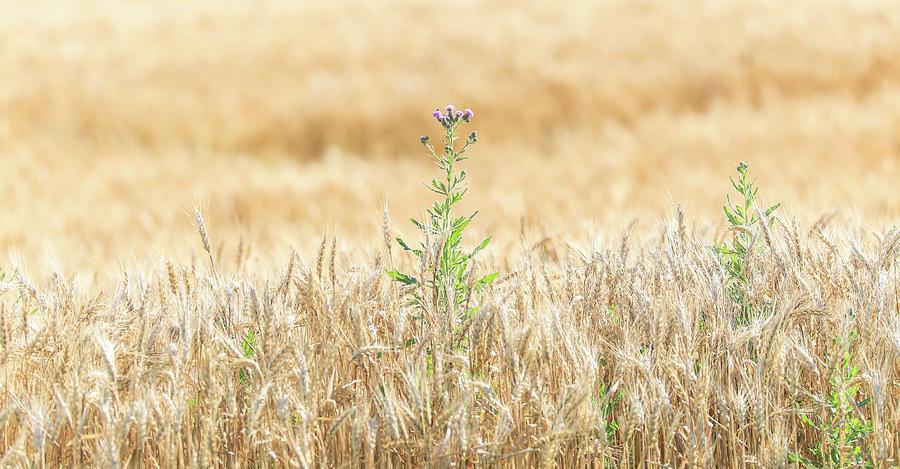 Golden Field Surprise by Dan Sproul