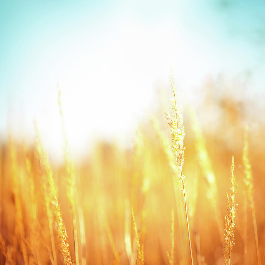 Golden Grass Photograph by Jasmina007