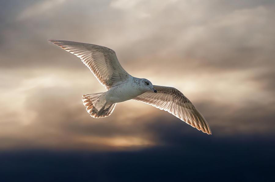 Golden Gull by Dimitris Sivyllis