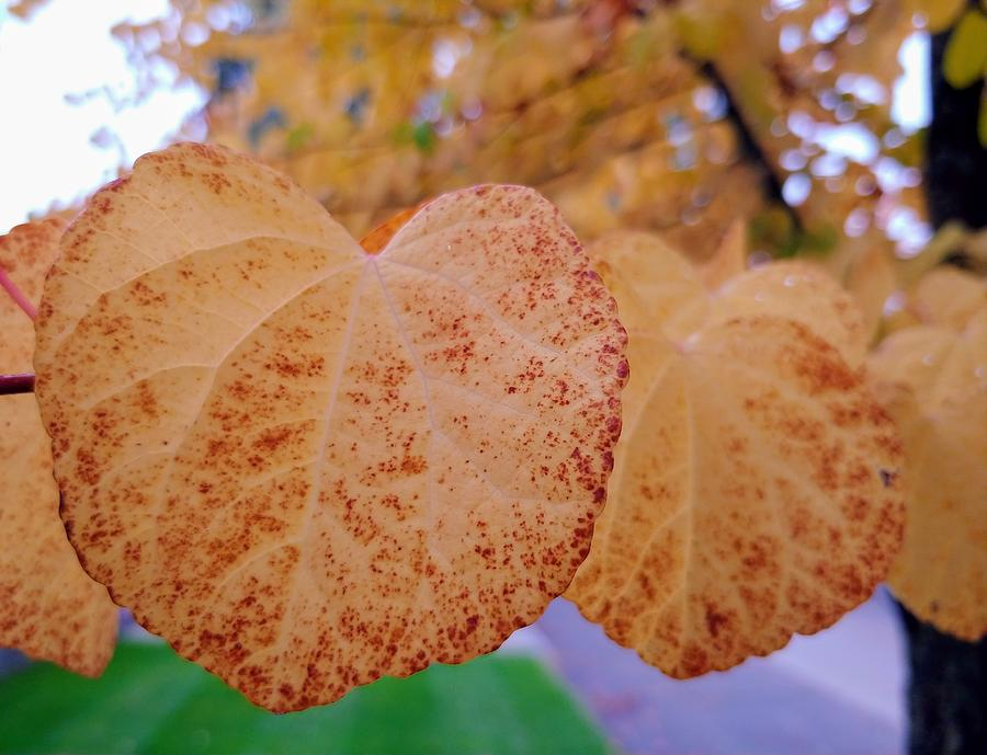 Leaves Photograph - Golden Hearts by Darrell MacIver