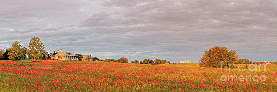 Golden Hour Panorama Of Field Of Indian Paintbrush Wildflowers Independence Washington County Texas Photograph