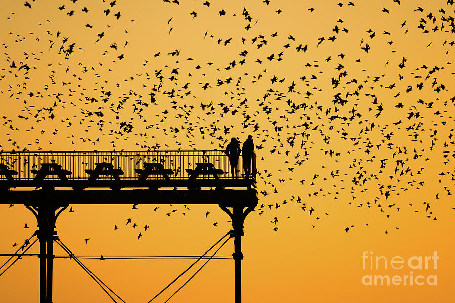 Pier Photograph - Golden Hour Starlings Over Aberyswyth Pier by Keith Morris