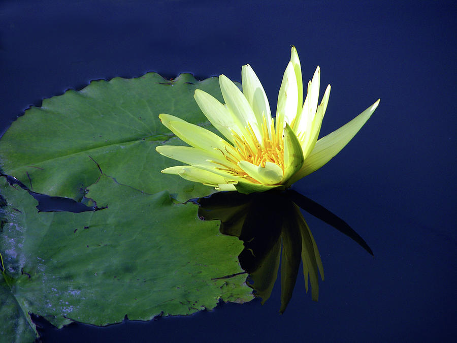 Water Lily Photograph - Golden Lily by John Lautermilch