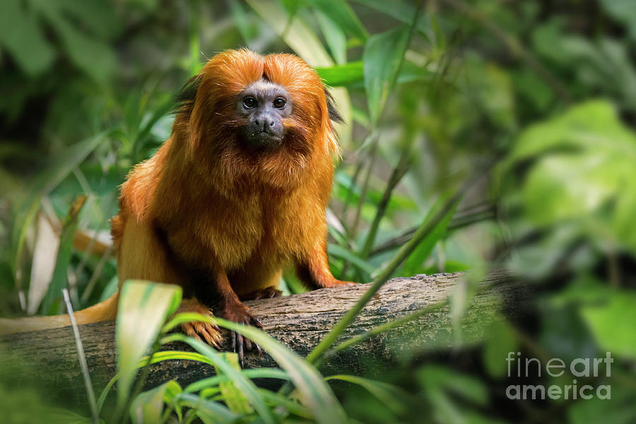 Golden Lion Tamarin by Arterra Picture Library