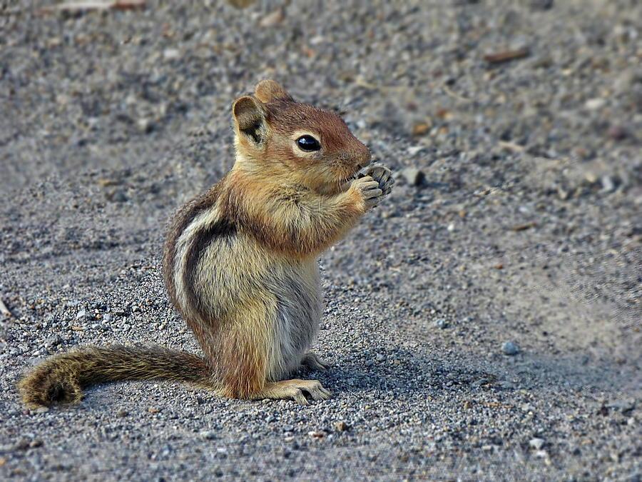 Ground Squirrel Photograph - Golden-mantled Ground-squirrel by Lyuba Filatova