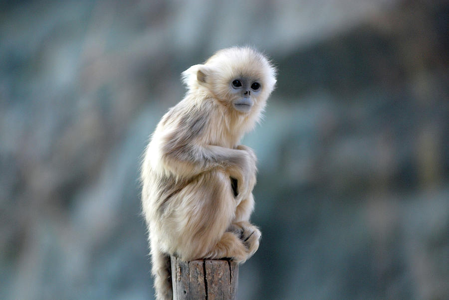 Golden Monkey Photograph by Floridapfe From S.korea Kim In Cherl