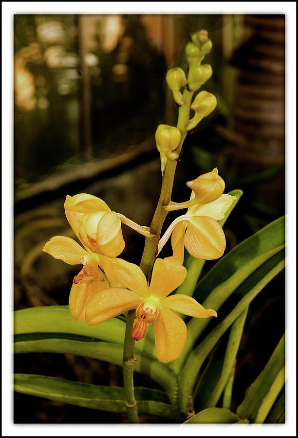 Golden Orchid Photograph - Golden Orchid by Harold Silverman - Flowers