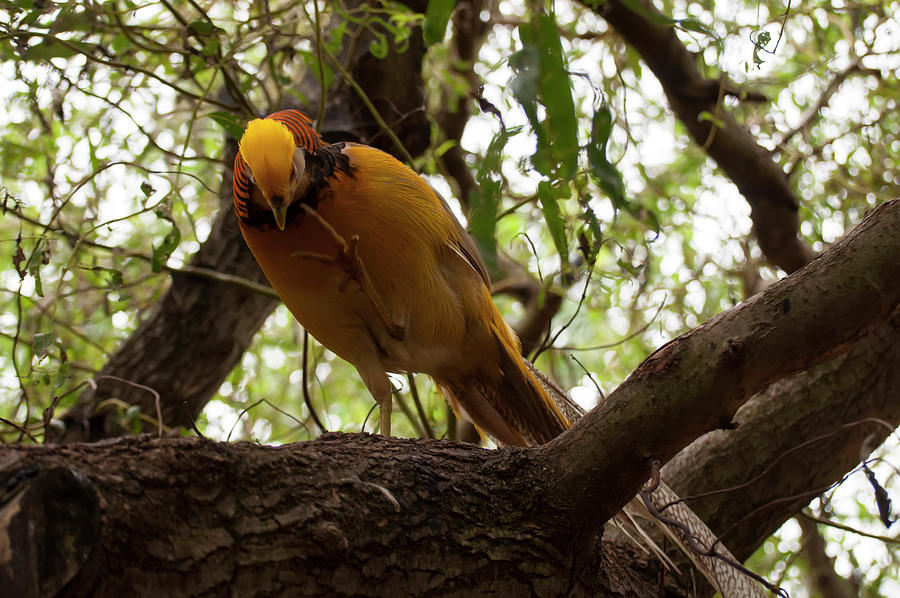 golden pheasant 004 by Chris Flees