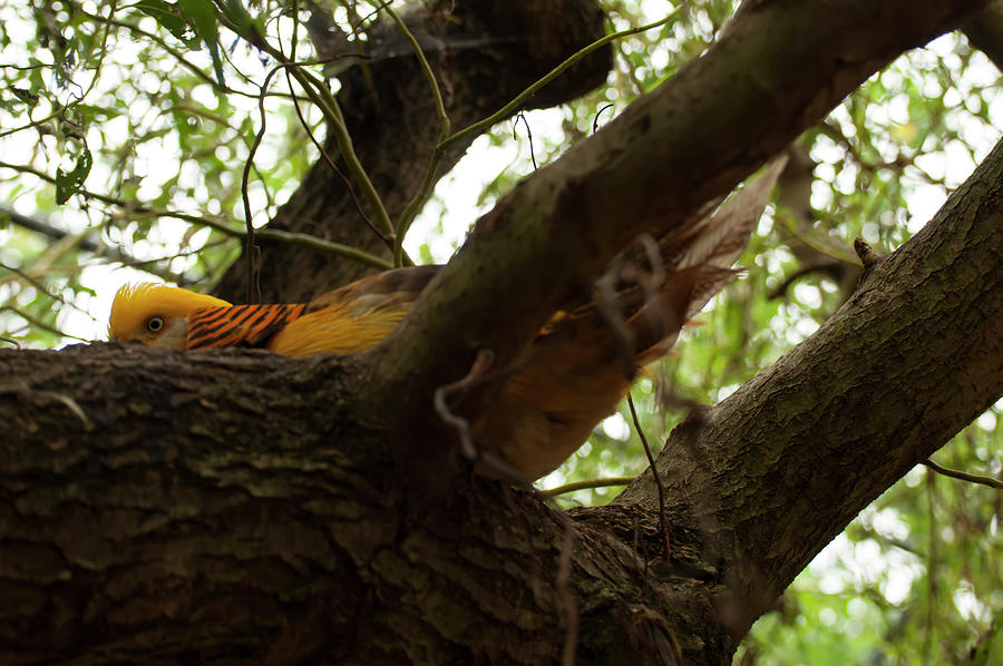 golden pheasant hiding in a tree by Chris Flees