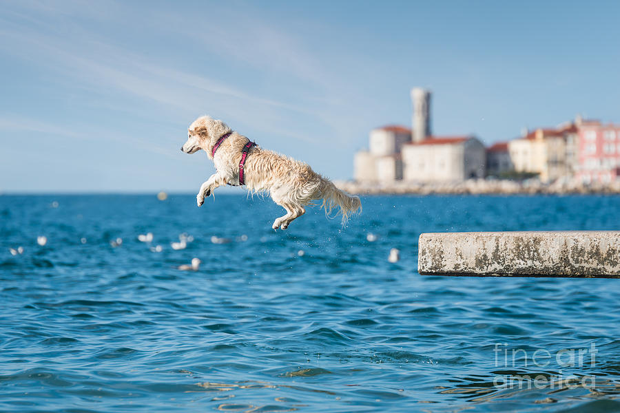 Play Photograph - Golden Retriever Dog Jumping Into Sea by Sonsart