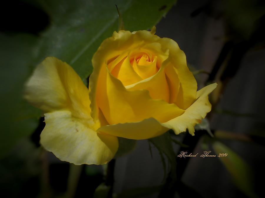 Golden Rose Beauty by Richard Thomas
