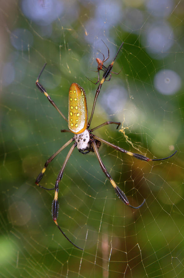 Golden Silk Spider Pair by Ivan Kuzmin