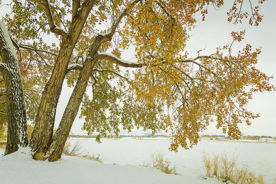 Golden Snowy Cottonwood by James BO Insogna