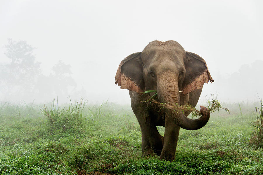 Elephant in the Morning Mist by Lee Craker
