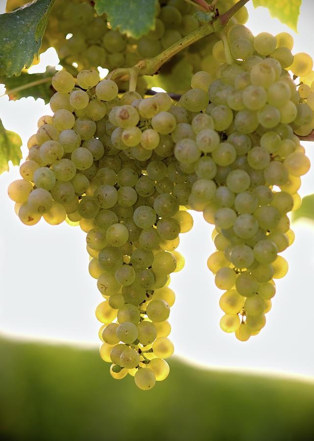 Golden Wine Photograph by Farbenrausch