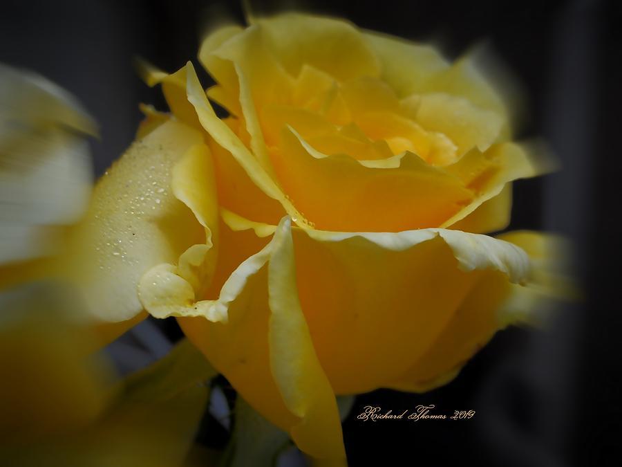 Golden Yellow Rose by Richard Thomas