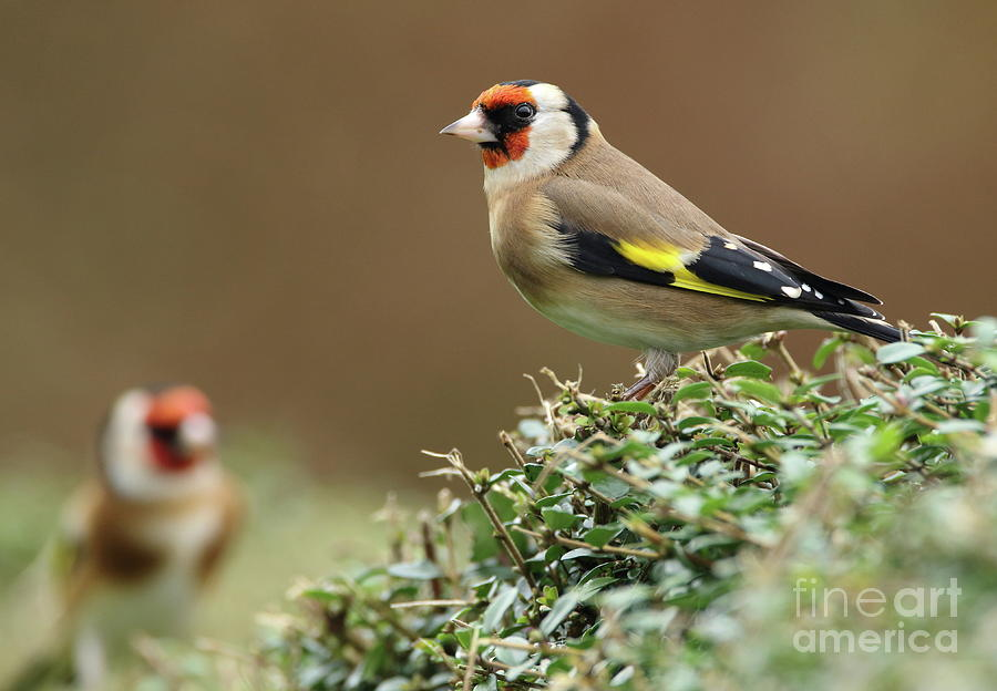 Goldfinch 2 by Peter Skelton
