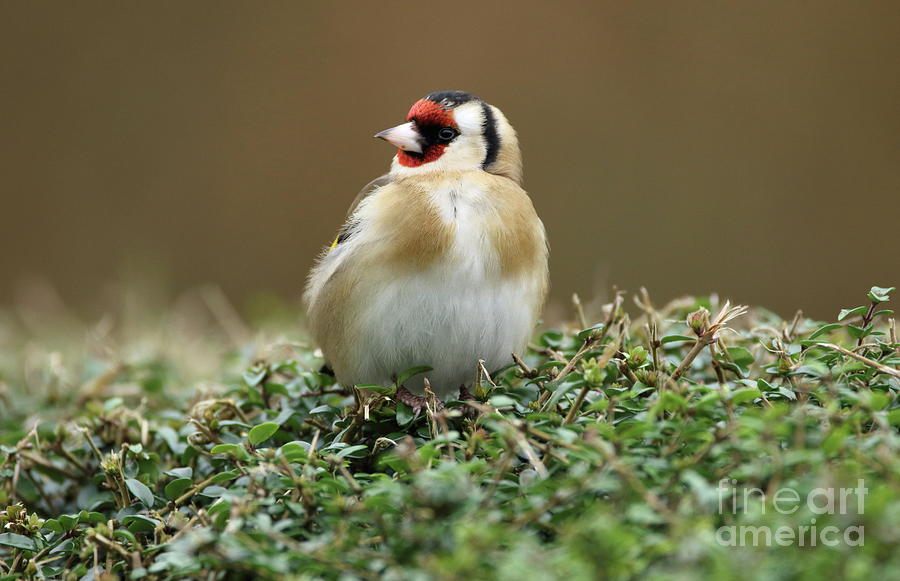 Goldfinch 3 by Peter Skelton