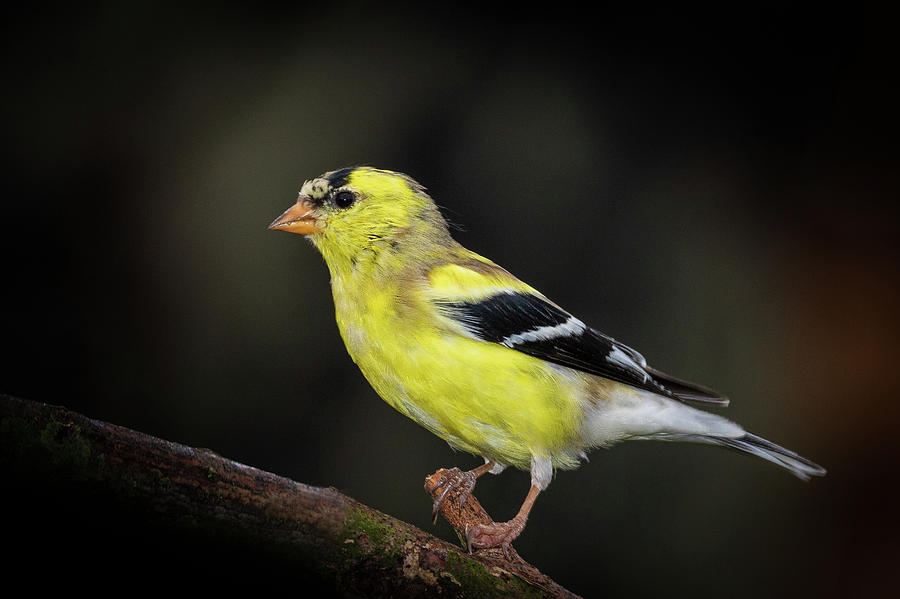 Goldfinch by Allin Sorenson