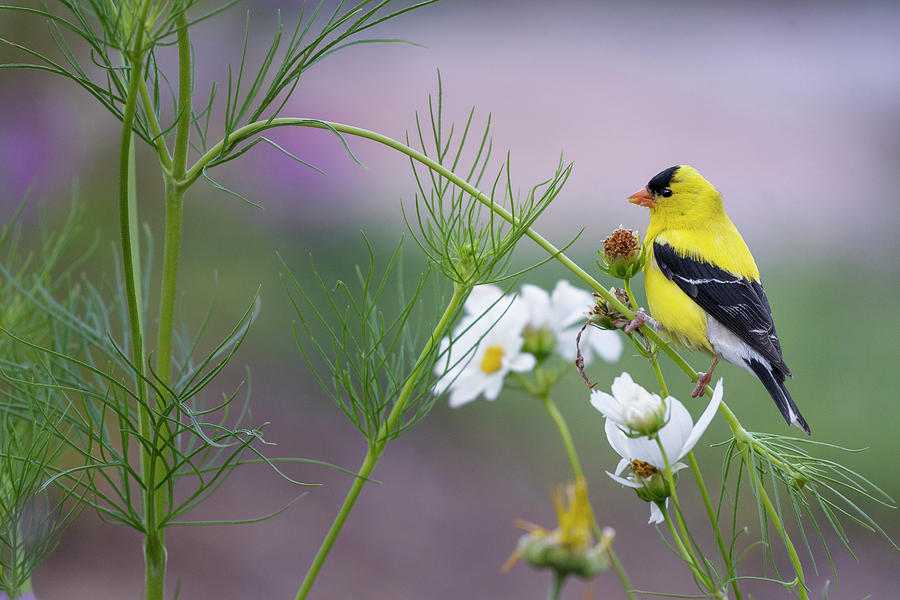 Goldfinch in Garden by Bill Wakeley