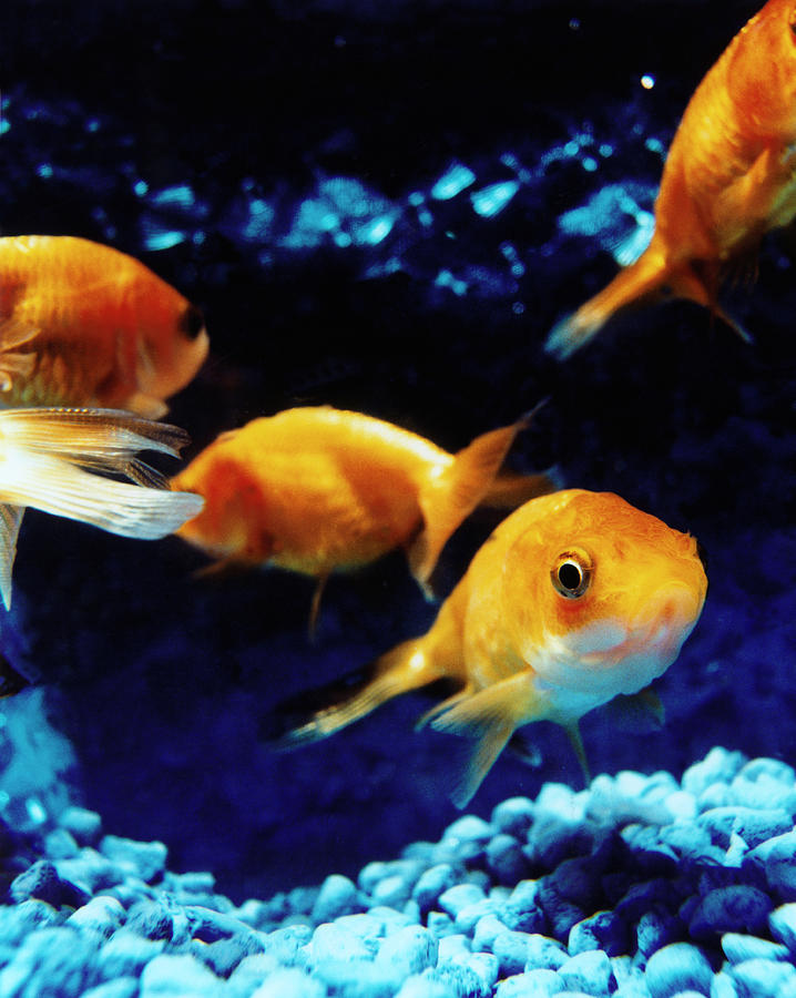 Goldfish In Fish Tank Photograph by Silvia Otte