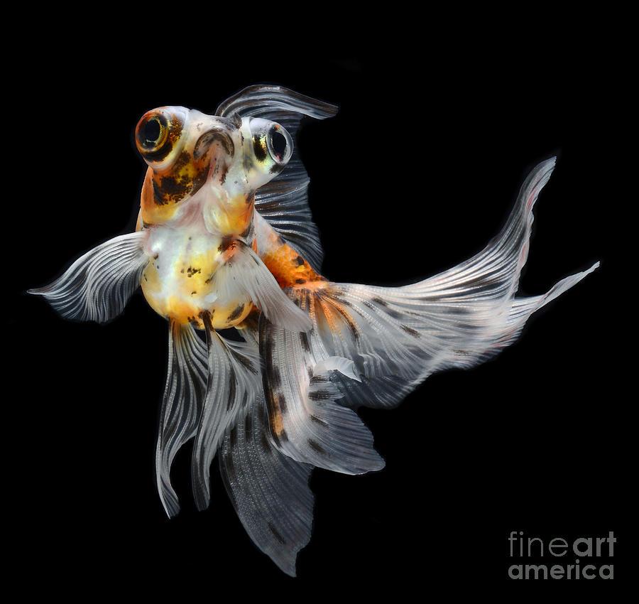 Big Photograph - Goldfish Isolated On Black Background by Bluehand