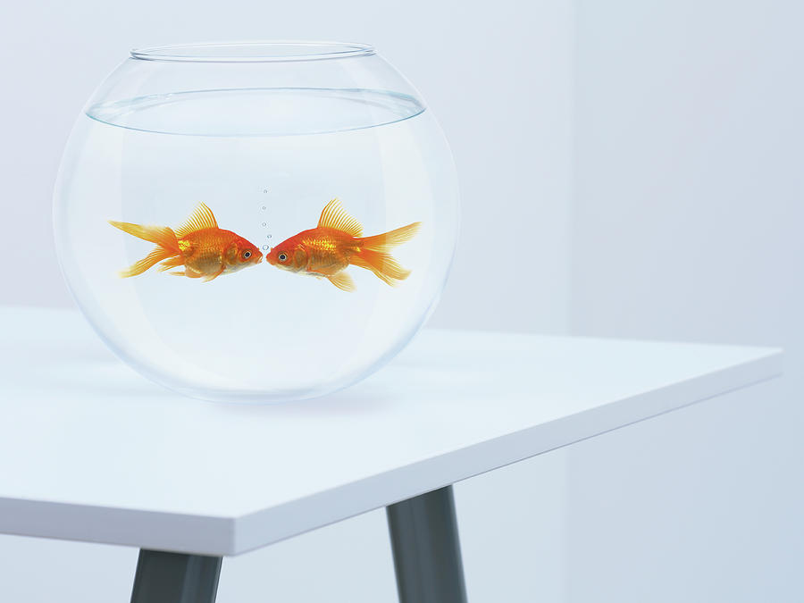 Goldfish Kissing In Fishbowl Photograph by Adam Gault