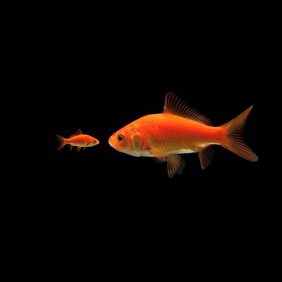 Goldfish Photograph by Mike Kemp