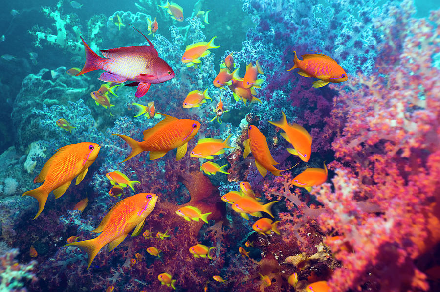 Goldies And Soft Corals Photograph by Georgette Douwma
