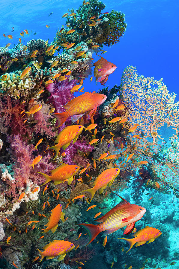 Goldies On Coral Reef Photograph by Georgette Douwma